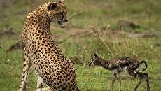 (تصاویر) بوسه مرگ؛ بچه آهوی تازه متولد شده طعمه یوزپلنگ شد