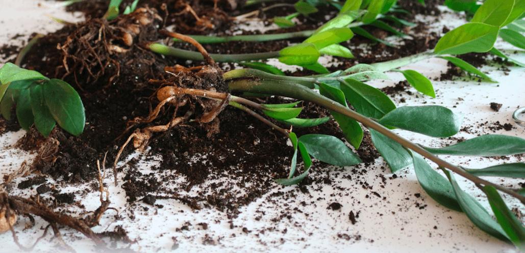 زاموفیلیا، گیاهی محبوب و بسیار مقاوم
