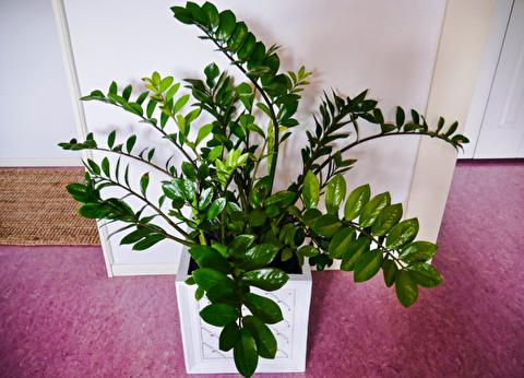زاموفیلیا، گیاه آپارتمانی محبوب و بسیار مقاوم