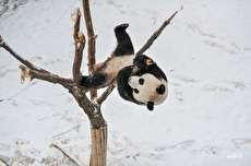 شادی بی نهایت پاندا از بارش برف دیرهنگام در باغ وحش مسکو