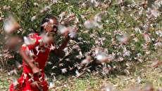 (تصاویر) ملخها بلای جان مزارع کشاورزی آفریقا