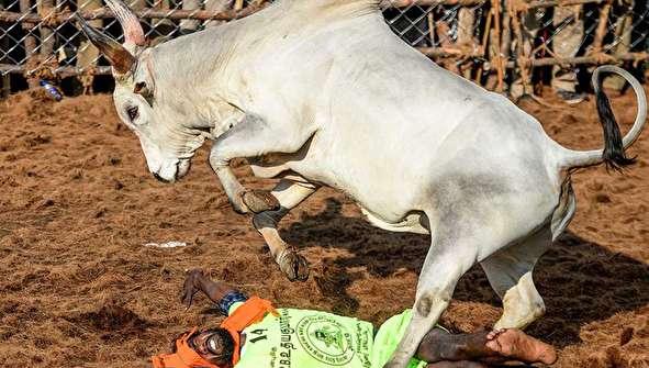 (تصاویر) جشنواره جنجالی گاوبازی