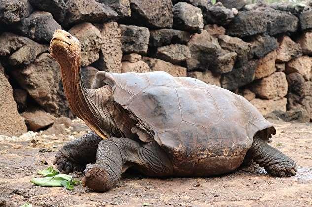 بازنشستگی لاکپشتی که در نیم قرن ۸۰۰ بار پدر شد!