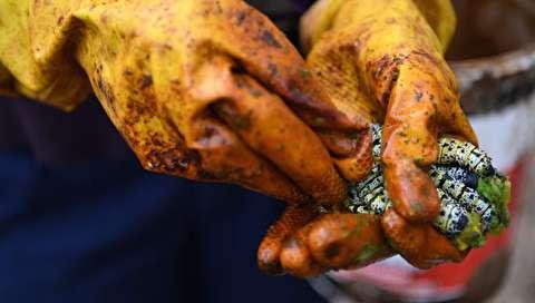 (تصاویر) کرمهای موپان؛ غذای ارزشمند مردم بوتسوانا