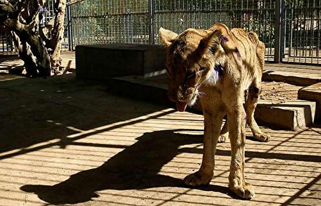 وضعیت هولناک شیرهای گرسنه باغ وحش
