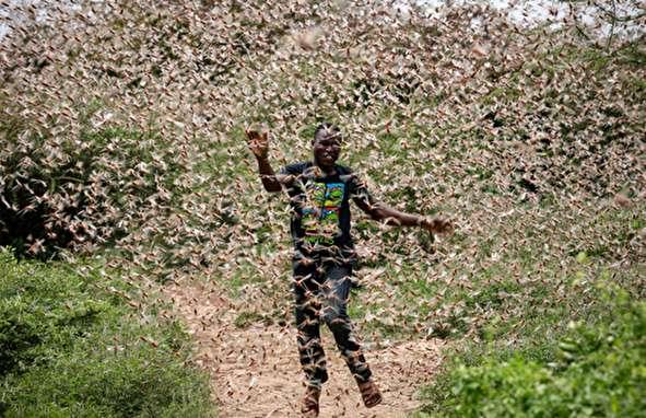(تصاویر) حمله تکان دهنده ملخها