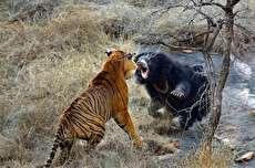 (ویدئو) خرس تنبل؛ ببر را فراری داد