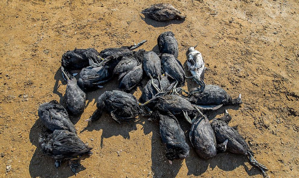 احتمال عمدیبودن مرگ ٢هزار پرنده مهاجر در میانکاله