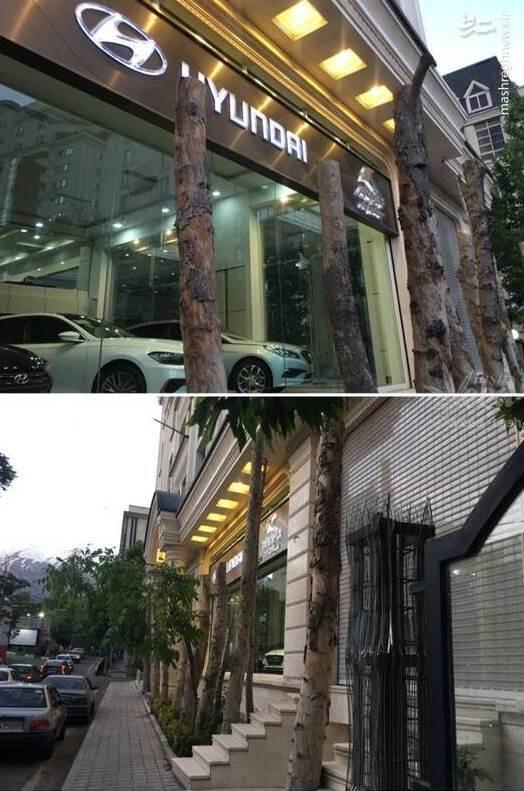 (عکس) قطع درخت در زعفرانیه بخاطر ویترین نمایشگاه ماشین!