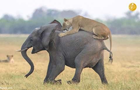 (تصاویر) فیل سواری شیرها!