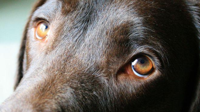 چشم سگها برای 'جلب نظر انسان تکامل پیدا کرده'