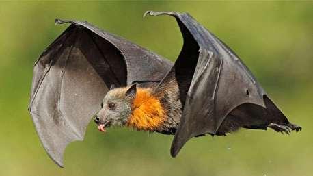 نبرد خفاشها با کروکودیل!