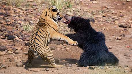 فیلمی بینظیر از جدال خرس و ببر