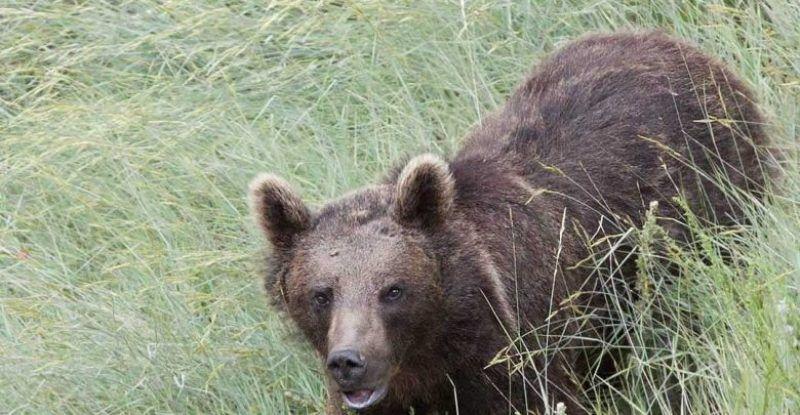 فریادهای خرس سرگردان و مسموم در کامفیروز مرودشت