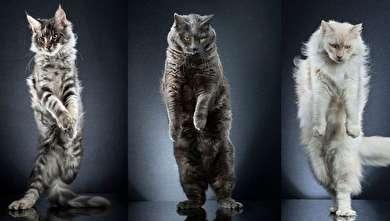 (تصاویر) اگر گربهها روی دو پا راه میرفتند!