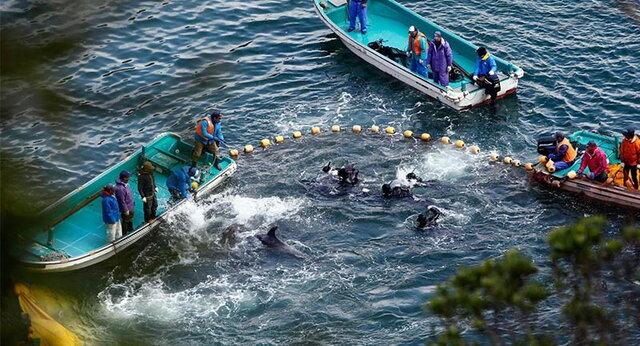 (تصاویر) قتل عامهای سنتی حیوانات در جهان