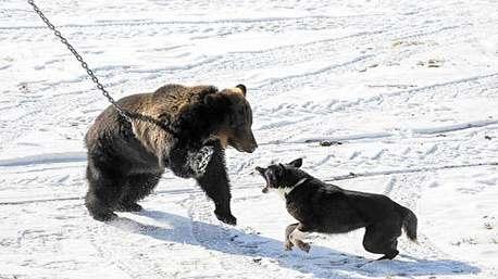 سگ شجاع خرس را از باغ بیرون میاندازد!