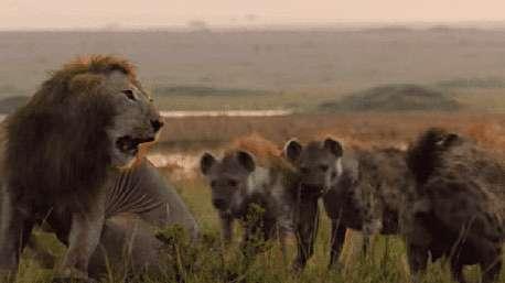 حمله گله کفتارها به شیر تنها