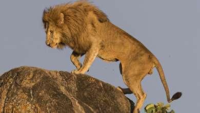 (تصاویر) شیر شاه واقعی!