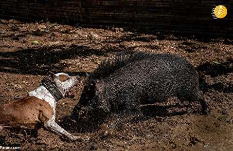 (تصاویر) جنگ وحشتناک سگها و گرازها