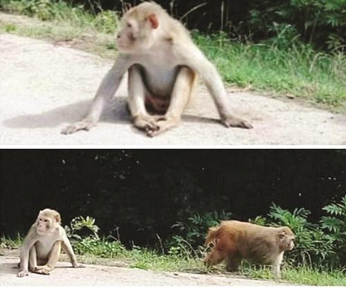 میمونهای وحشی چگونه از سیاهکل سر درآوردند؟