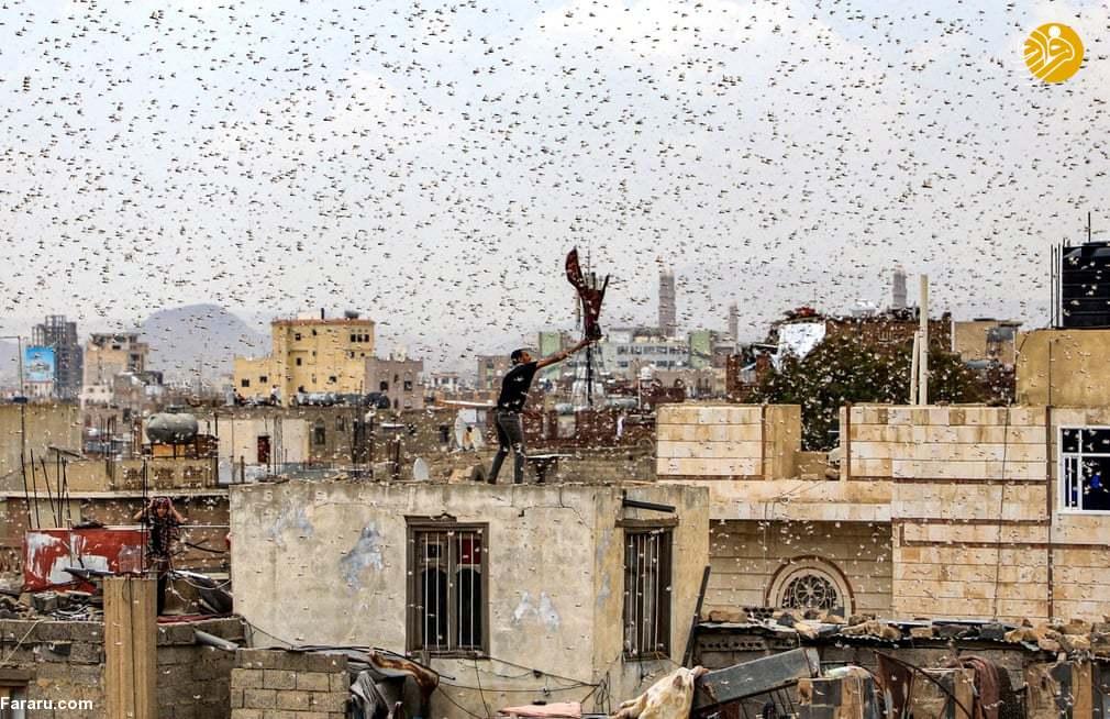 (تصاویر) هجوم میلیونها ملخ به پایتخت یمن