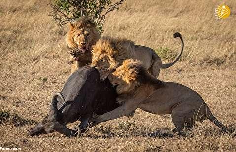 (تصاویر) زمین زدن بوفالو در حمله متوالی شیرها
