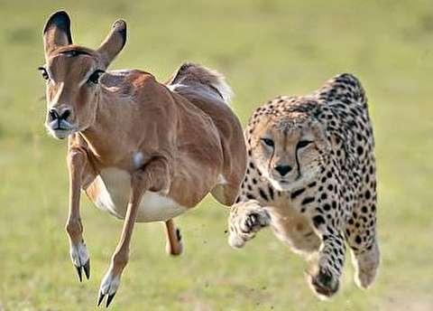 (تصاویر) تعقیب و گریز ۱۰ ثانیهای یوزپلنگ با ایمپالا