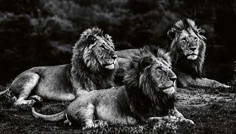 (تصاویر) عظمت شیرها در عکسهای سیاه و سفید
