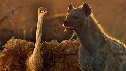 (ویدئو) دفاع دو شترمرغ در برابر یورش کفتارها