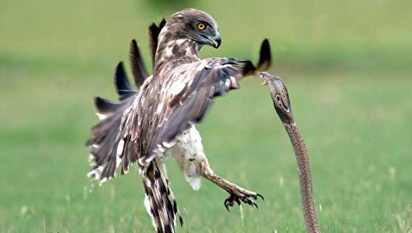 (تصاویر) مبارزه مرگبار مار کبرا با عقاب