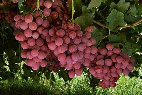 خواص شگفت انگیز انگور؛ از کاهش وزن تا سلامت پوست و مو