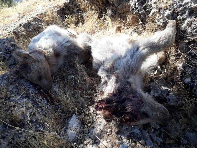 شلیک مرگبار به ۲ توله خرس در کهگیلویه و بویراحمد