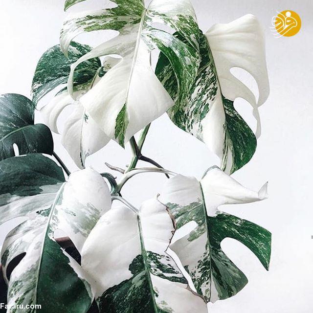 برگ انجیری؛ گیاه آپارتمانی که میوه هم میدهد