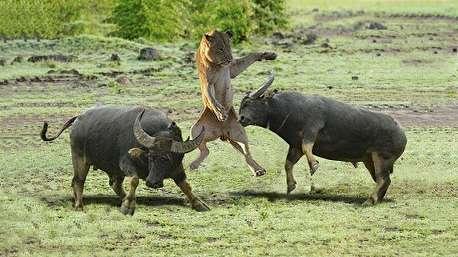 (ویدئو) کمتر دیدهاید: شکست و کشته شدن شیر در نبرد با بوفالو!