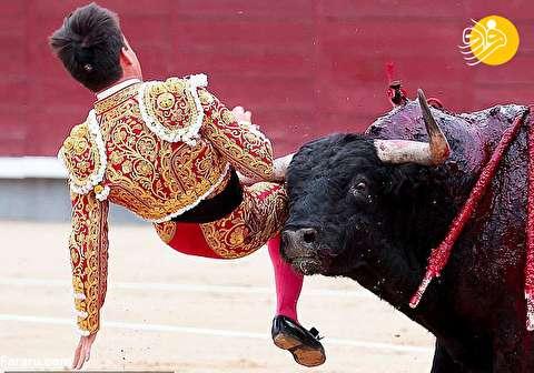 (تصاویر) انتقام وحشتناک گاو وحشی از ماتادور جوان