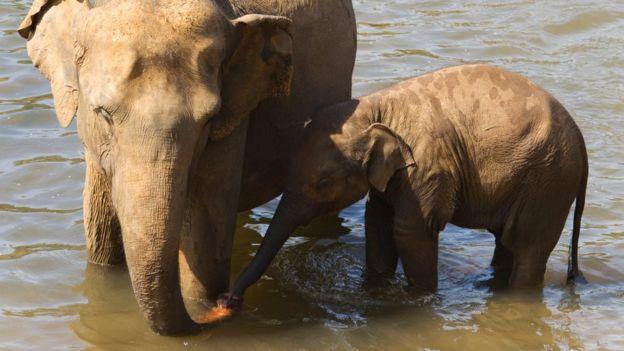 آیا فیلها برای نجات یکدیگر جانشان را به خطر میاندازند؟
