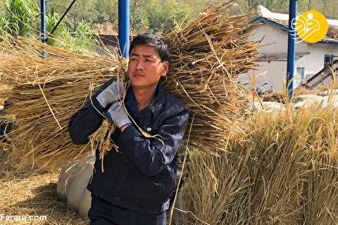 (تصاویر) برداشت محصولات کشاورزی در کره شمالی