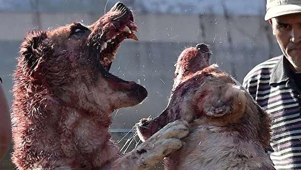 (تصاویر) به جان هم انداختن وحشتناک سگها