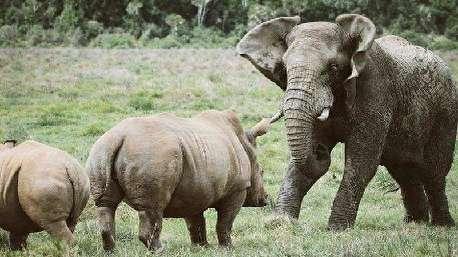 (ویدئو) قدرت نمایی فیل برای کرگدن