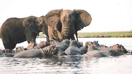 (ویدئو) تلاش مذبوحانه اسب آبی برای خوردن فیل!