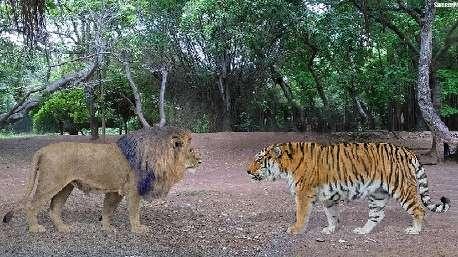 نبرد واقعی و هولناک ببر و شیر؛ کدام یک پیروز میشود؟