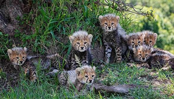 (تصاویر) اتفاقی نادر؛ هفت توله زنده یک یوزپلنگ در حیات وحش