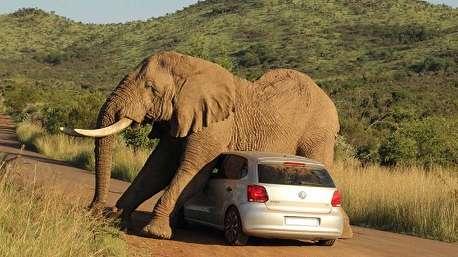 عبور یک فیل غول پیکر از روی یک خودرو