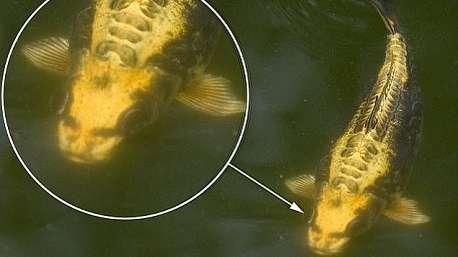دیده شدن یک ماهی کپور عجیب شبیه به انسان در چین