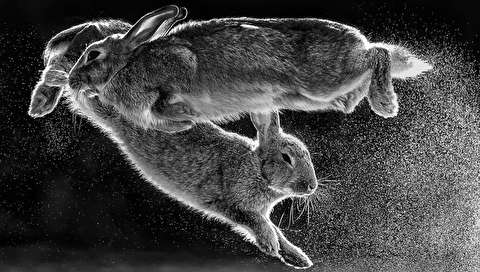 (تصاویر) عکس خارقالعاده از پرش خرگوشها در عکاس طبیعت سال ۲۰۱۹