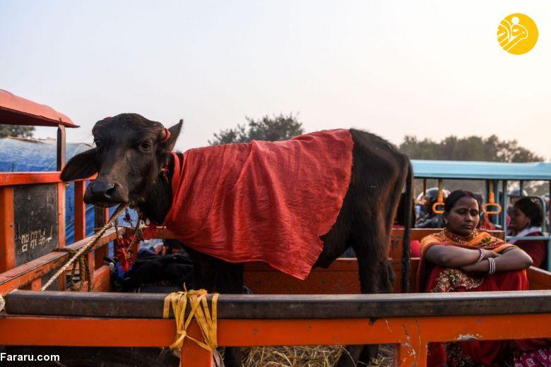 (تصاویر) آغاز بزرگترین مراسم سنتی کشتار بوفالو در نپال