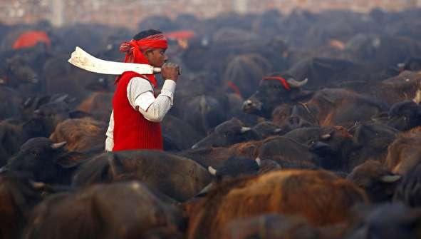 (تصاویر) آغاز بزرگترین مراسم کشتار حیوانات در جهان