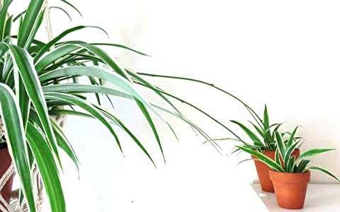 همه چیز درباره گیاه گندمی یا عنکبوتی؛ از پرورش و تکثیر تا نگهداری