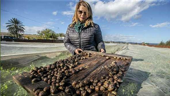 (تصاویر) پرورش حلزون؛ پول، سلامتی و زیبایی